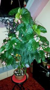 Begonia Albopicta