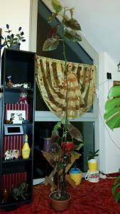 Begonia Albopicta  :-O